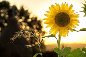 sunflower 1127174 640